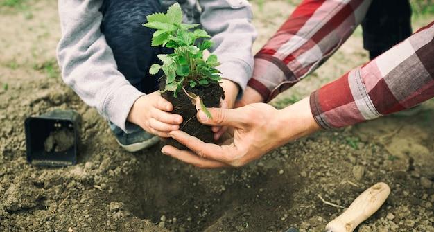 De vader helpt zijn zoon de aardbei in de grond te verplanten