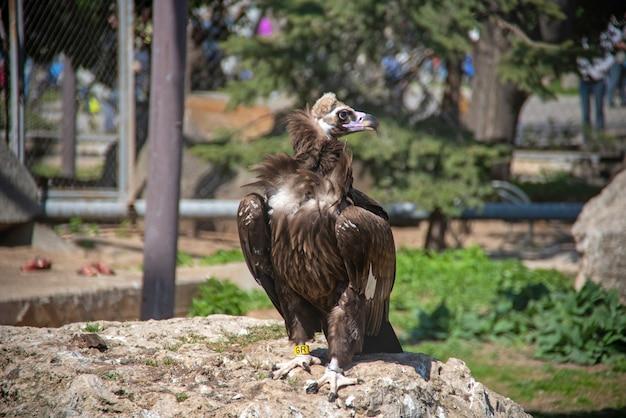 De vale gier (gyps fulvus) is een groot gierras uit de oude wereld in de dierentuin