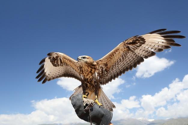 De valk aan de arm van de jager spreidde zijn vleugels