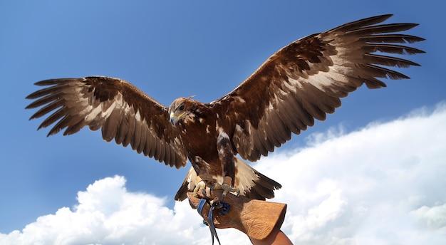 De valk spreidde zijn vleugels uit tegen de blauwe lucht.