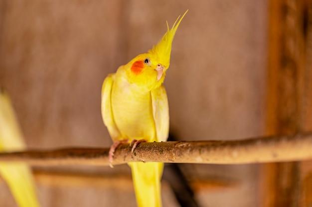 De valkparkiet, ook wel bekend als weiro-vogel, of ruzie