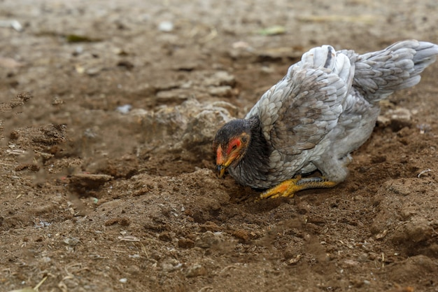 De vechtende haan eet voedsel in landbouwbedrijf in thailand