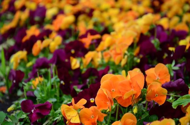 De veelkleurige viooltjebloemen of pansies sluiten omhoog als achtergrond of kaart
