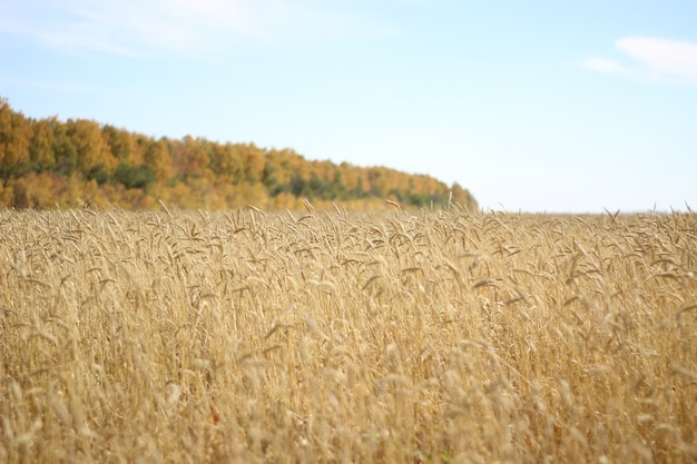 De velden met gouden korenaren