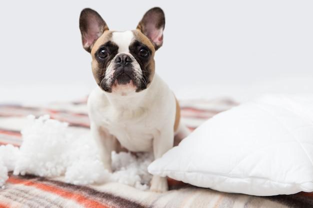De vernietiger van het huishuisdier ligt op het bed met een gescheurd hoofdkussen. huisdierenzorg abstracte foto. kleine schuldige hond met grappig gezicht.