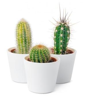 De verschillende soorten geïsoleerde cactus, sluiten omhoog