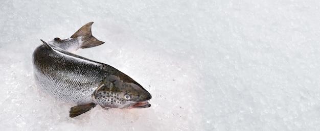 De verse gehele zeevruchten van zalmvissen die op ijs met exemplaar-ruimte worden gekookt