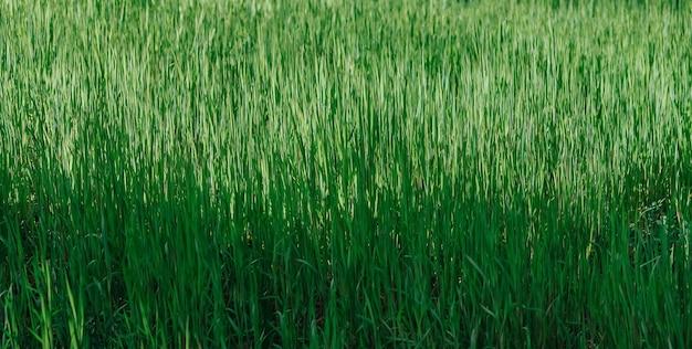 De verse groene achtergrond van de grastextuur