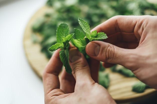 De verse groene close-up van munttwijgen in mannelijke handen. munt schillen, voorbereiden om te drogen om gezonde thee te zetten.