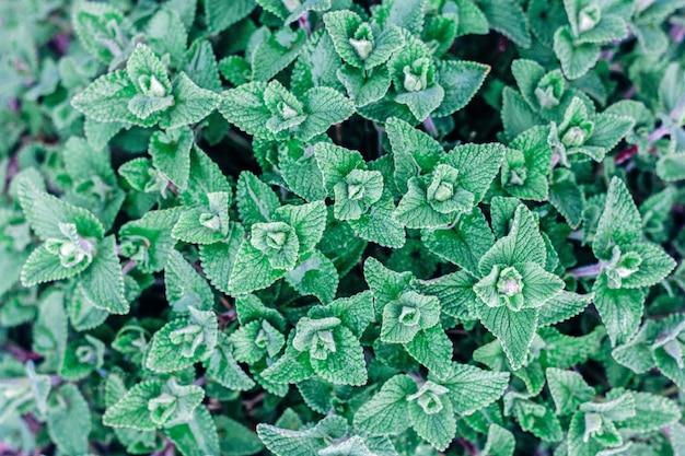 De verse groene hoogste mening van de bladerentextuur