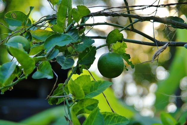 De verse groene limoen die aan de boom in de boerderij hangt met selectieve focustechniek