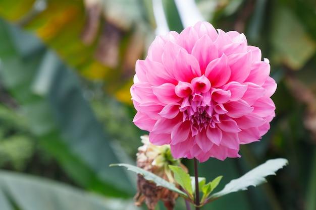 De verse heldere mooie roze bloeiende wilde sierbloem van de dahlia, vertegenwoordigt waardigheid en