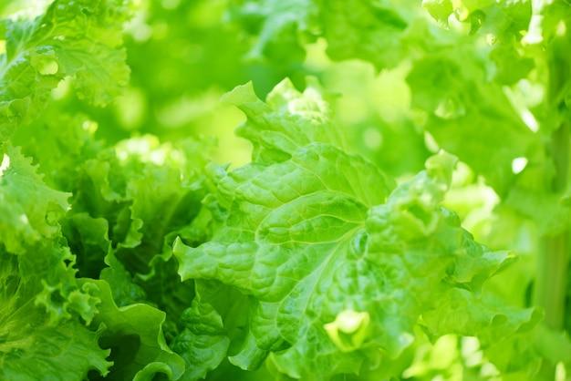De verse weelderige achtergrond van slabladeren op kruidenlandbouwbedrijf - sluit omhoog van groene groentesalade in de tuin