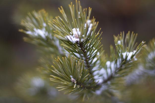 De vertakking van de kerstboom met sneeuw close-up