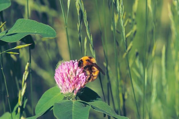De vette bij vindt nectar in roze klaver dichte omhooggaand. insect op bloem met copyspace op groene vage achtergrond.