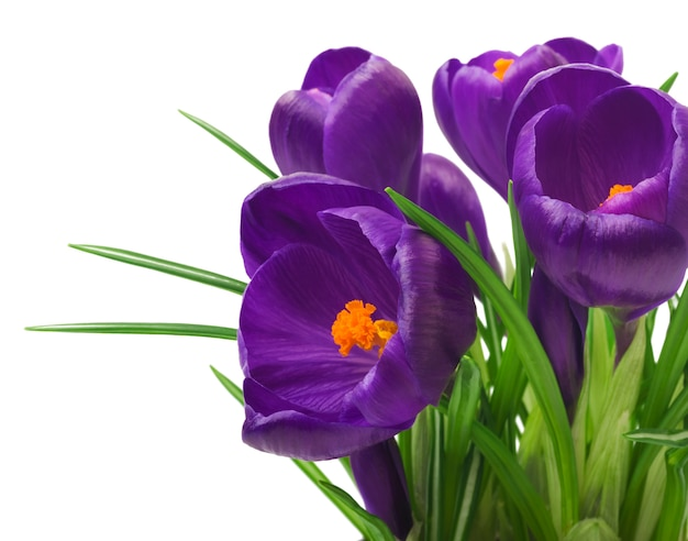 De violette krokus bloeit boeket