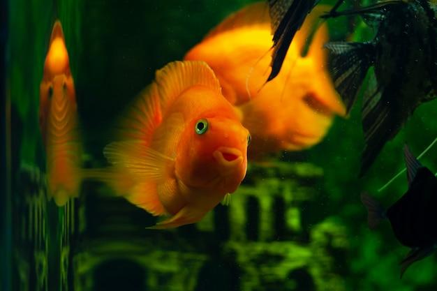 De vis in het aquarium kijkt in de camera. aquariumvissen genoemd