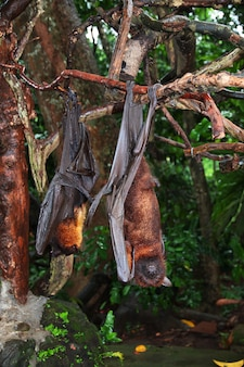 De vleermuis in monkey forest, bali zoo, indonesië
