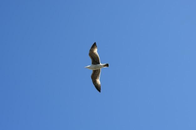 De vliegende mening van de zeemeeuwzeevogel van onderaan blauwe hemel