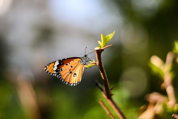 De vlinder van de close-upmonarch op bloem n vertroebelde gele zonnige achtergrond, exemplaarruimte voor uw tekst.