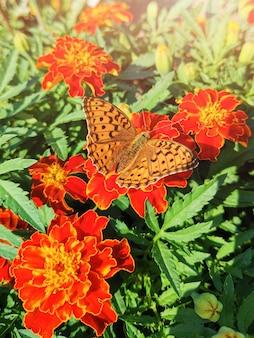 De vlinder zit op oranje goudsbloemen