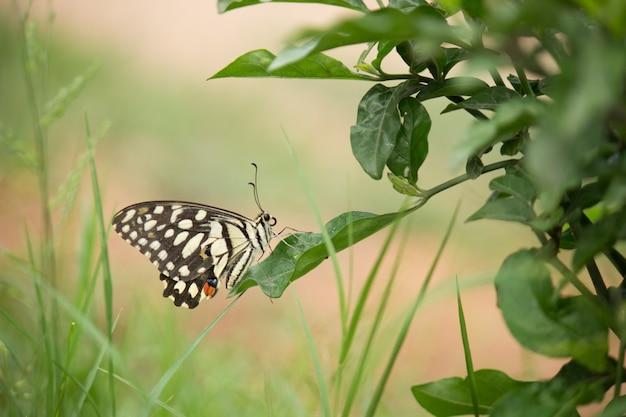 De vlinderzitting van de kalk op een blad dat door groen wordt omringd
