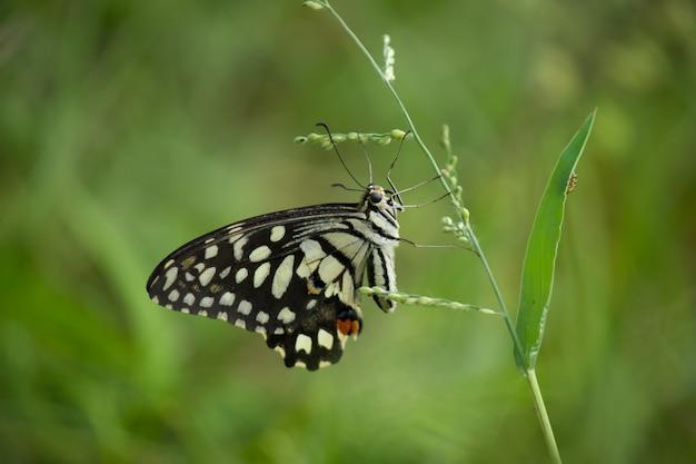 De vlinderzitting van de kalk op een bloeminstallatie in zachtgroen