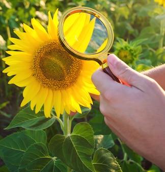 De voedselwetenschapper controleert de zonnebloem