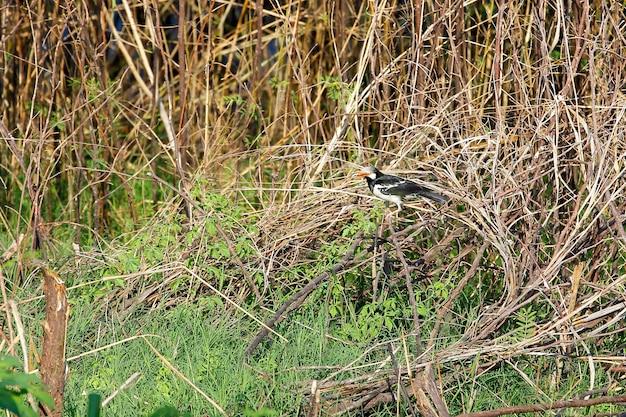 De vogel in het bos in thailand