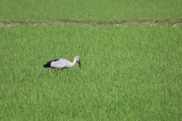 De vogel in padieveld in platteland in azië