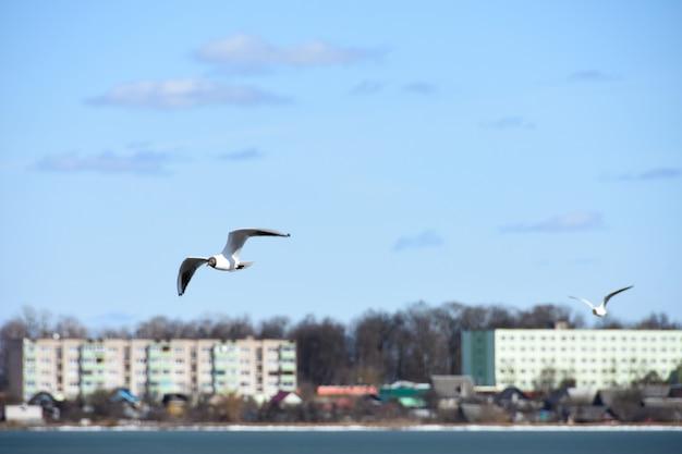 De vogels van de zeemeeuw vliegen over het meerwater in de stad op de achtergrond van huizen