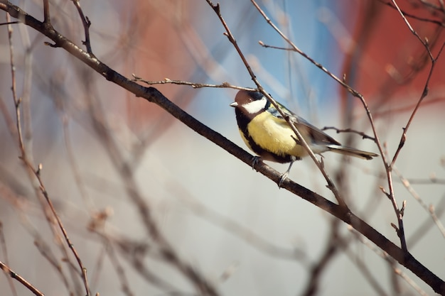 De vogelzitting van de mees op een tak in de lente