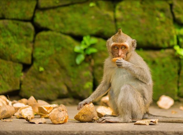 De volwassen aap zit op de boom in het bos