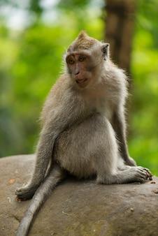 De volwassen aap zit op de steen in het bos.