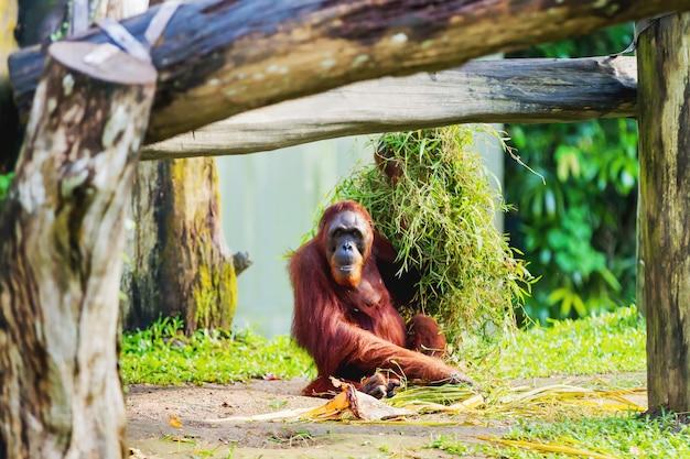 De volwassen orangoetan (rongo) zit onder een bos van gras en boomtakken. singapore.