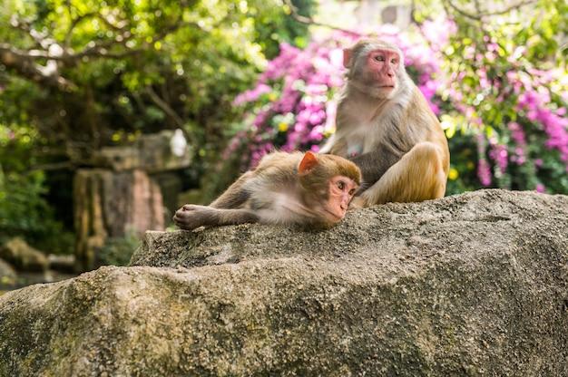 De volwassen resusaap die van twee volwassen rode apen elkaar in tropisch aardpark verzorgen van hainan, china. brutale aap in het natuurlijke bosgebied. wildlife scène met gevaar dier. macaca mulatta.
