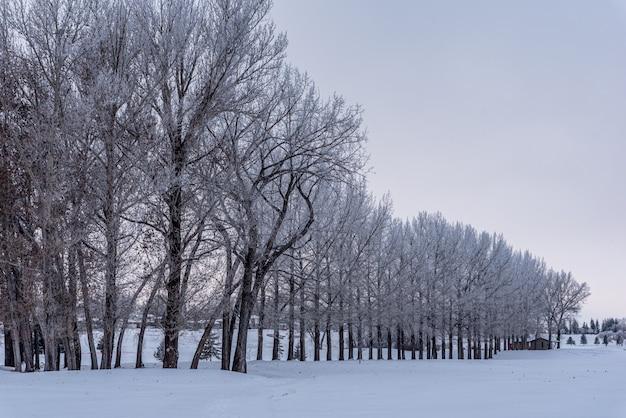 De vorst van hoar behandelde bomen op fairway van een golfcursus in saskatchewan