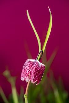 De vroege bloem van het de lenteschaak in vloedweide. slangenkop fritillary (fritillaria meleagris)