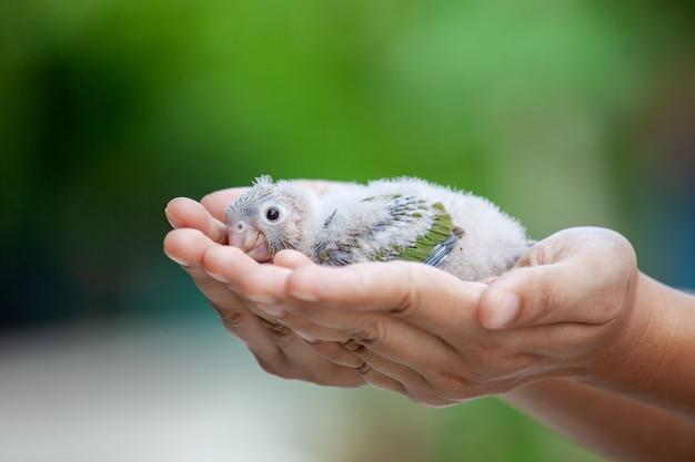 De vrouw die een kleine budgievogel bij de hand houden en behandelt het met zacht