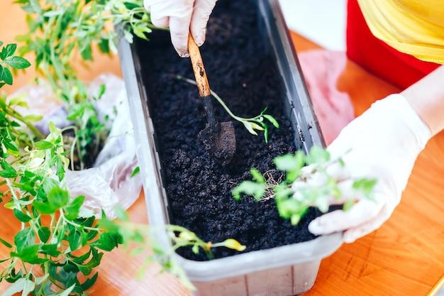 De vrouw dient handschoenen in plant zaailingen van tomaat in plastic zwarte pot thuis. zaailingen zaaien in een pot