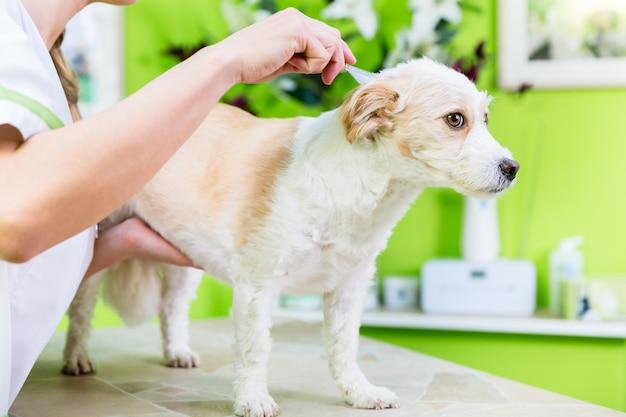 De vrouw onderzoekt hond voor vlo bij huisdierengroeier