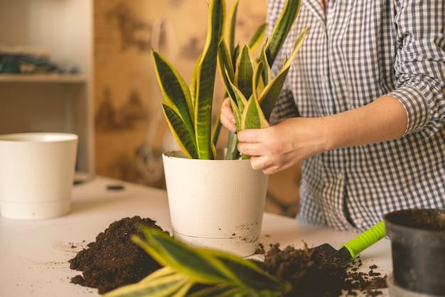 De vrouw overhandigt het planten van de slangenplant thuis in de pot. dracaena trifasciata of sappige boom
