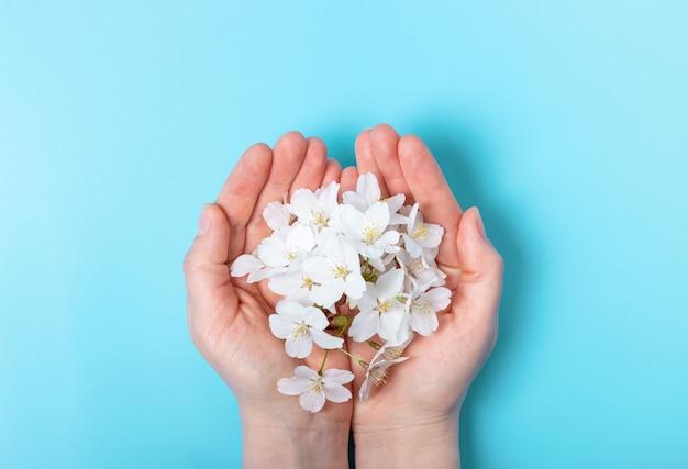 De vrouwelijke handen houden sakuratak op blauwe achtergrond