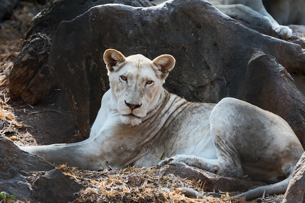 De vrouwelijke witte leeuw