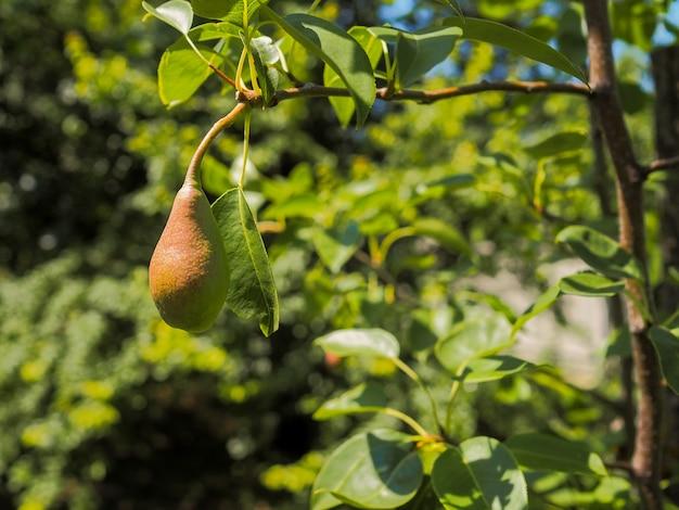 De vrucht van een perenboom op een tak
