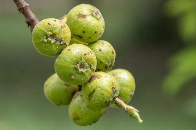 De vrucht van ficus racemos. de gemeenschappelijke naam vijgenvrucht, cluster vijgenboom, indische vijgenboom of gular fig.