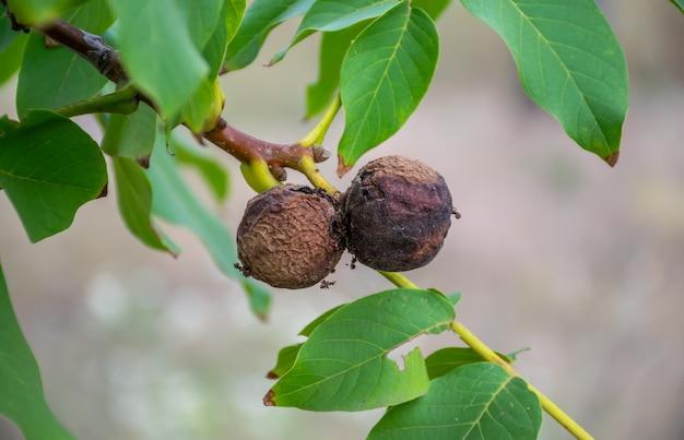 De vruchten van de walnoot werden ziek.