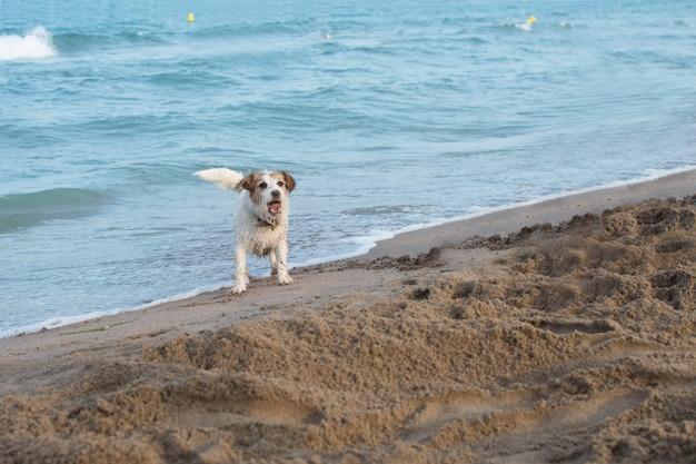 De vuile hond van hefboomrussell bij strandkust het spelen met zand op de zomer