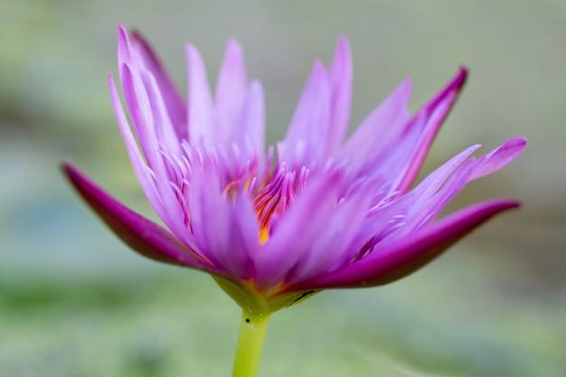 De waterleliebloem van de close-up roze lotusbloem