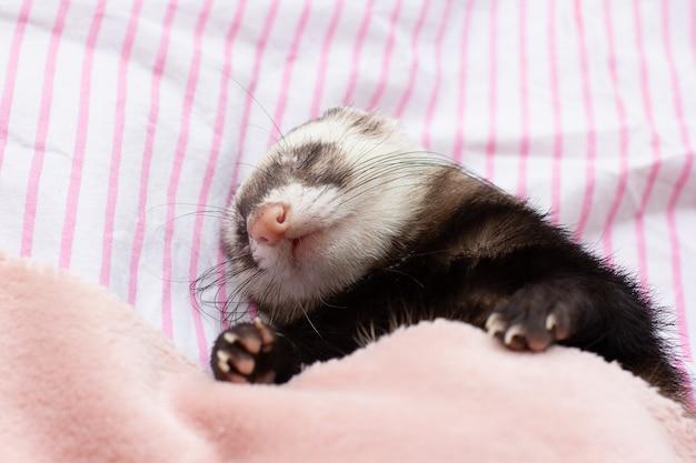 De welp van een bunzing slaapt een zoete droom